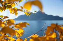golden leaves on a tree and lake view