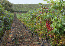 grapevines in rows in a grape vineyard
