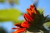 Sunflower closeup side view