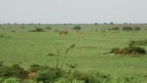 lions prowling in Uganda