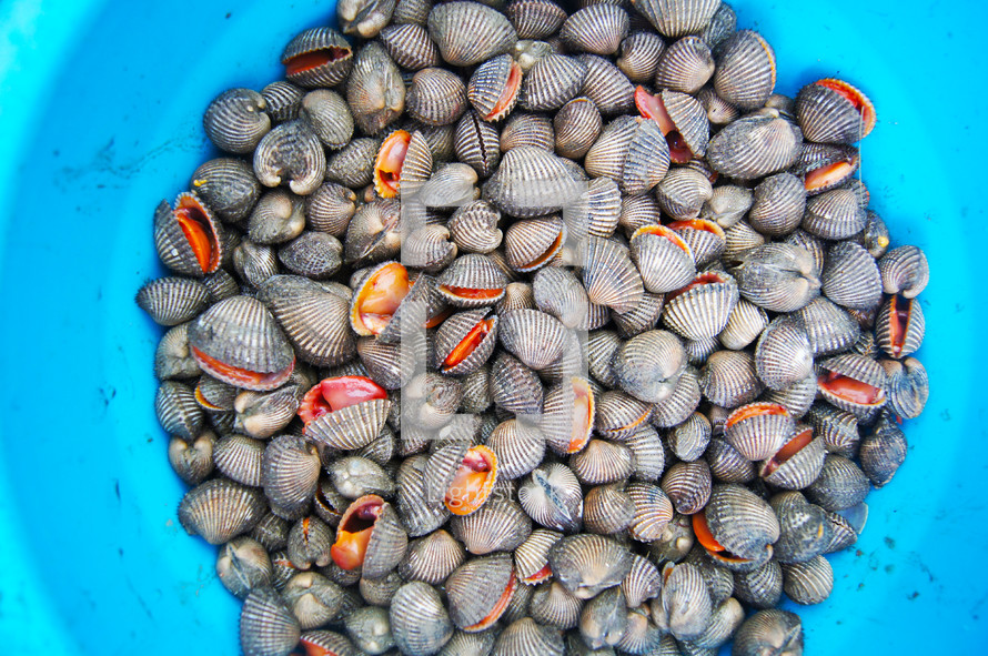 Small, edible, saltwater clams also known as cockles.