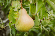 pear on a tree