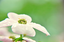 A dogwood blossom on a green background.