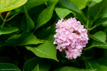 A pink hydrangea bloom amid green leaves.