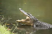alligator with his mouth wide open, at the edge of a bank of muddy water