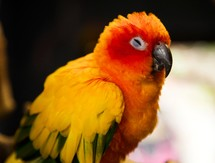 sun conure bird fluffing its feathers