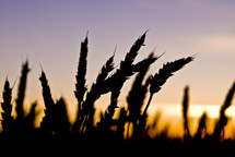 Close up of wheat field silhouetted at sunset