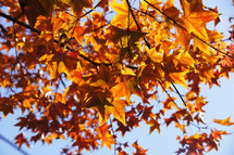 orange and yellow autumn  maple leaves on a tree. Fall.