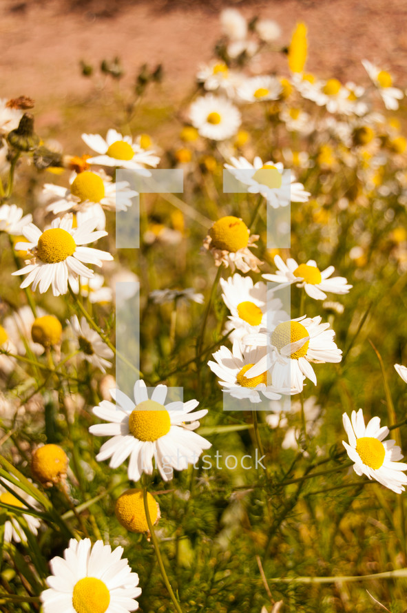 Field of daisy's