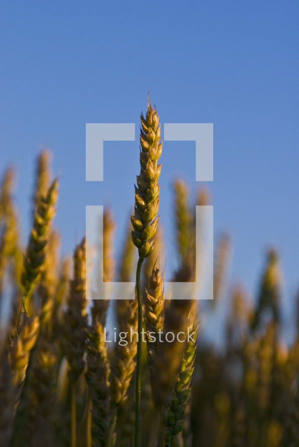 A wheat field close up silhouetted against a blue sky ready for harvest