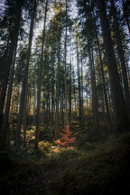 tall trees in a forest and one tiny tree