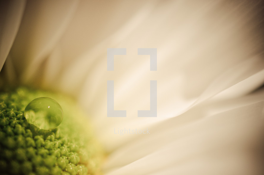 Droplet of water on a flower