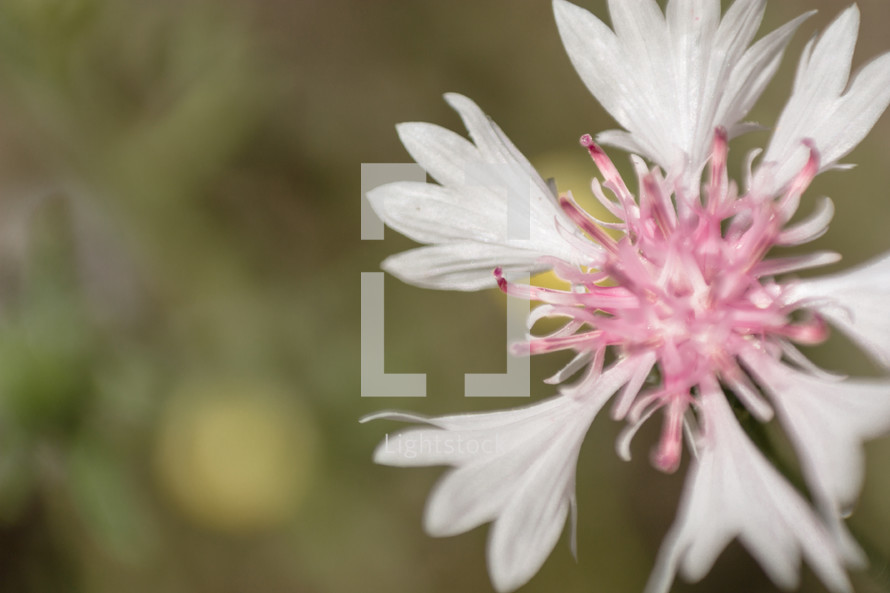 A white and pink flower