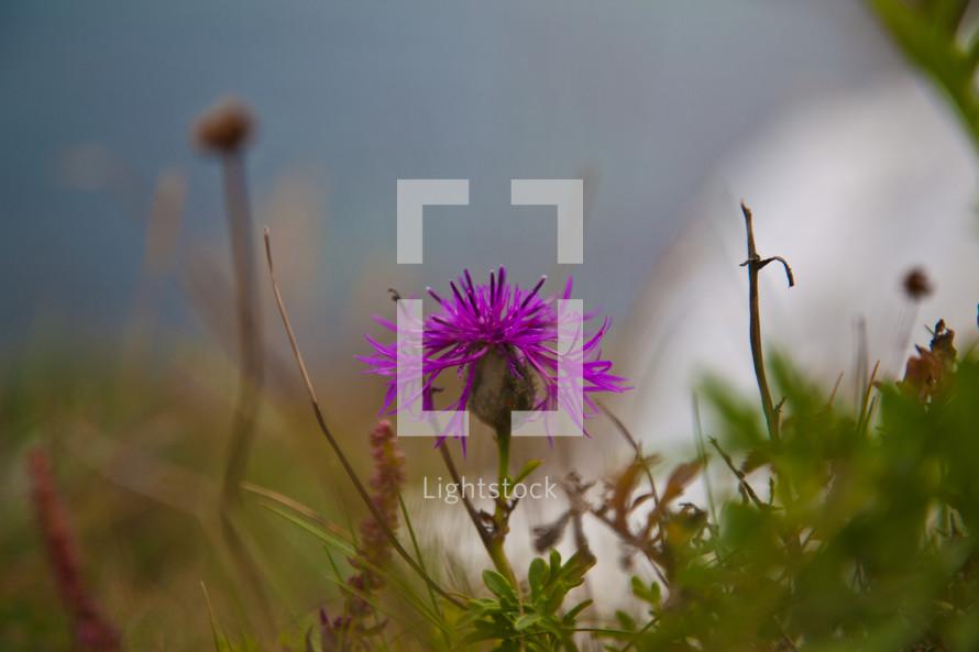 Purple wildflower