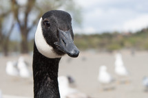 A close-up of the face of a goose