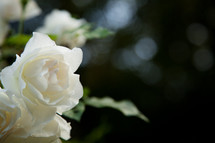 white blooming rose
