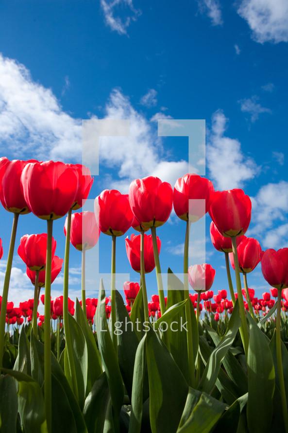 Field of tulip flowers