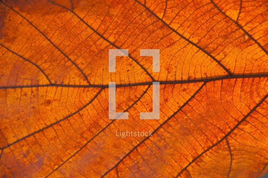 Fall leaf vein closeup