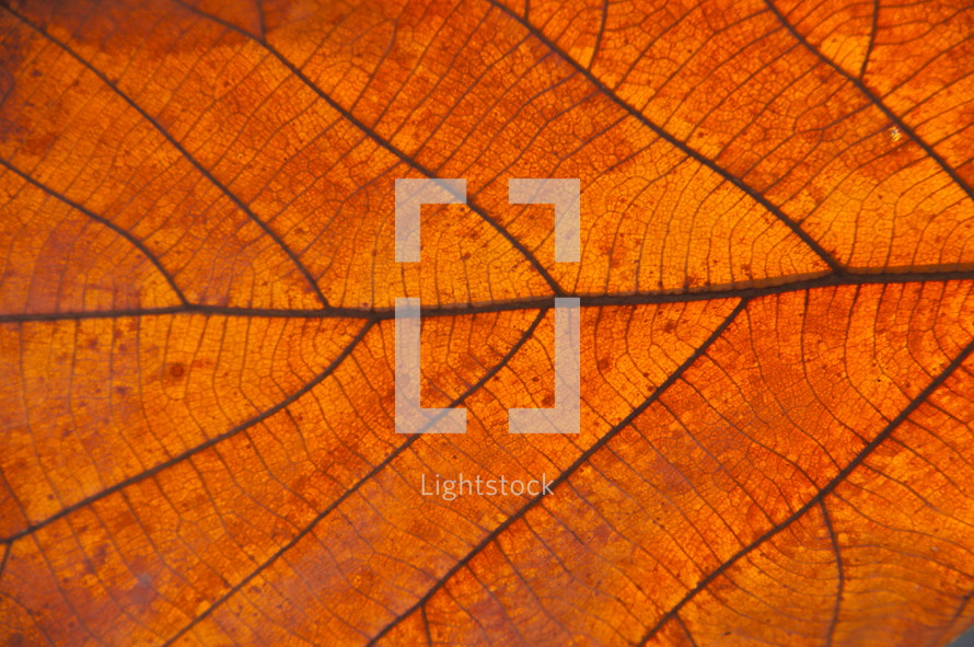 Fall leaf vein closeup