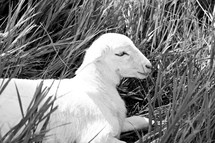 lamb resting in grass