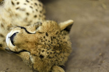 Cheetah lying on ground with eyes closed