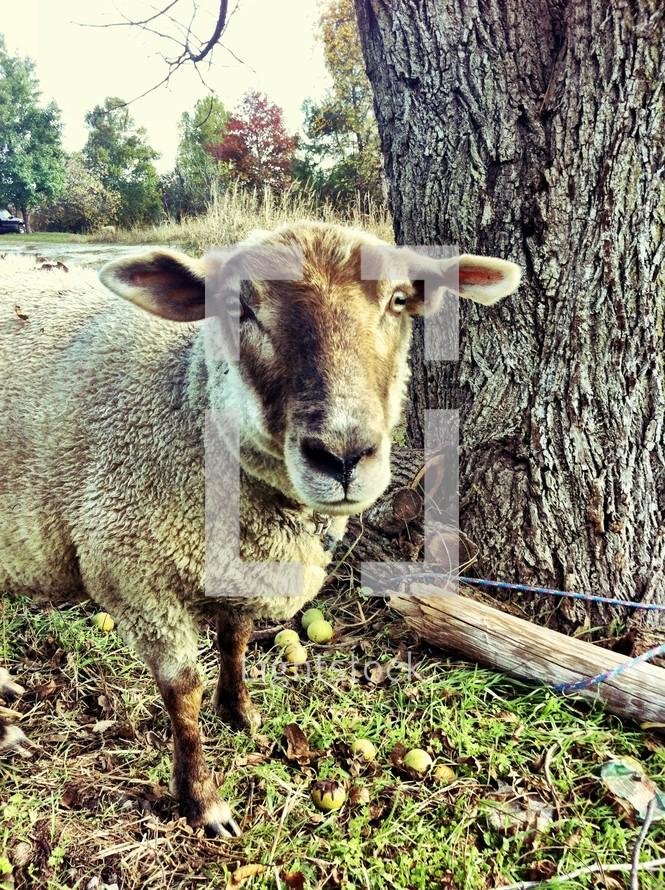 Large brown sheep
