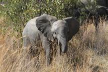 Baby Elephant in Savannah grasslands