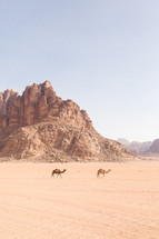 camels roaming in a desert
