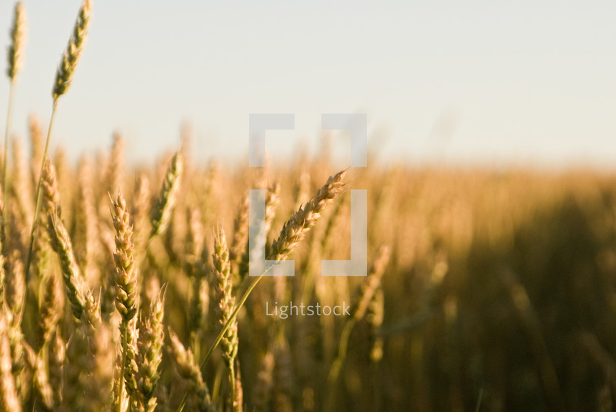 A wheat field at harvest time.
