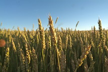 Open field of dry wheat plants.