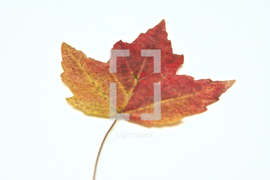 mixed colors of a maple leaf