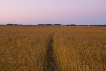 Wheat field at dawn ready for harvest.