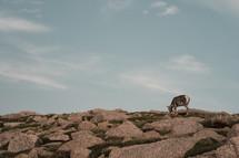 elk grazing on a mountaintop
