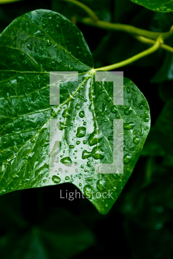 dew drops on ivy leaves