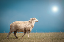 Glaring sun on a sheep walking in a field of grass.