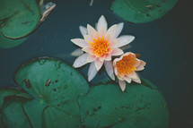 lotus flower and lily pads