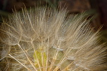 fuzzy flower seeds