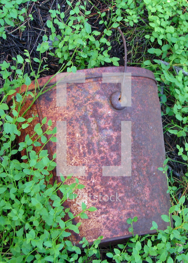 Rusty bucket in a bed of ground cover.