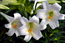 Three white Easter lilies; closeup.