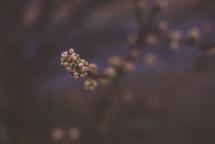 budding spring blossoms