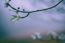 tiny white blossoms