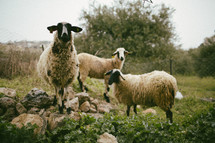 sheep in a pasture in Bethlehem