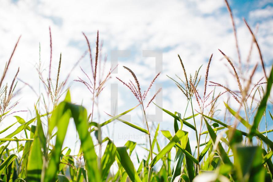 corn in a field
