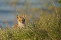 Fox cub in tall grass.