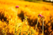 fuchsia flowers in a field of wheat