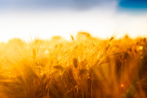 closeup of golden wheat in a wheat field