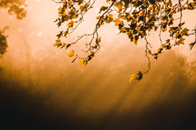 Orange sunbeams and fall tree branches.