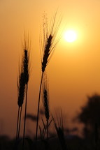 wheat grains in a field and the sun