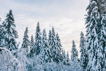 snow on pine trees in a forest
