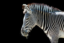 zebra against a black background